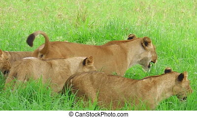 African lions of the Tarangire National Park of Tanzania, Africa. Panthera Leo in nature habitat. The lion is part of the Big Five.