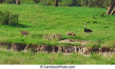 ostrich chicks with parents - African little ostrich chicks...