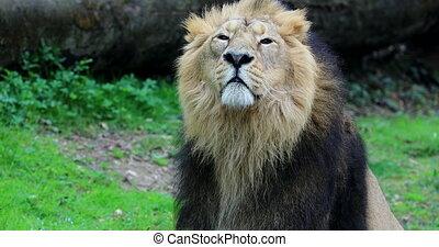African Male Lion Portrait