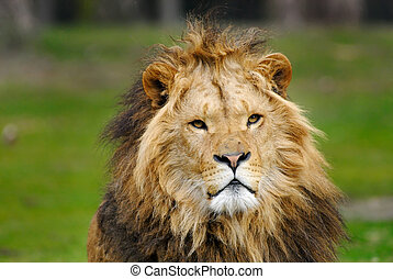 african male lion - portrait of a big african male lion