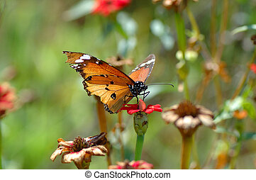 African Monarch butterfly, Danaus chrysippus, on a flower