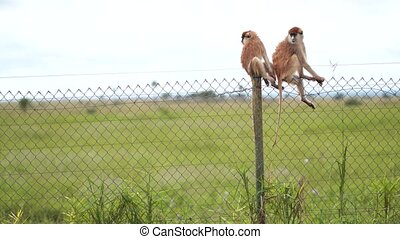 African monkeys sit on the fence of some territory in the African Savannah, netting, against the blue sky