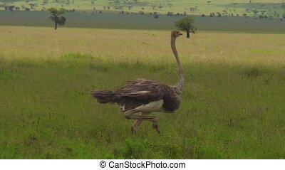 African ostriche running - African female ostrich running in...