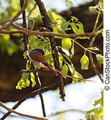African Paradise Flycatcher (Terpsiphone viridis) perched on...