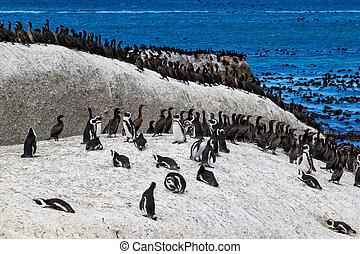 African penguin and Cape cormorant bird. Boulders Beach, South Africa