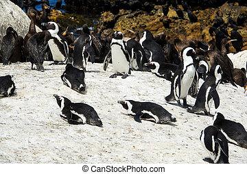 African penguin and Cape cormorant birds