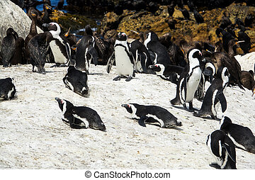 African penguin and Cape cormorant birds