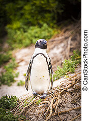 An African Penguin (Spheniscus Semersus) in its natural environment at Cape Peninsula in South Africa