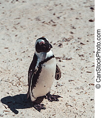 African Penguin in the Sand