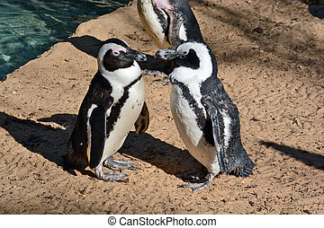 African Penguin in the Zoological Center