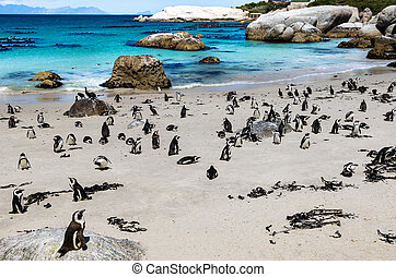 African penguin or Black-footed penguin - Spheniscus demersus - at the Boulders Beach, Cape Town, South Africa