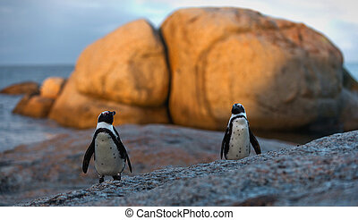 African penguin pair at sunset near Cape Town, South Africa. The African Penguin (Spheniscus demersus), also known as the Jackass Penguin and Black-footed Penguin