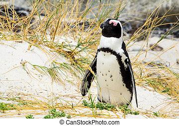African penguin sleeping Spheniscus demersus
