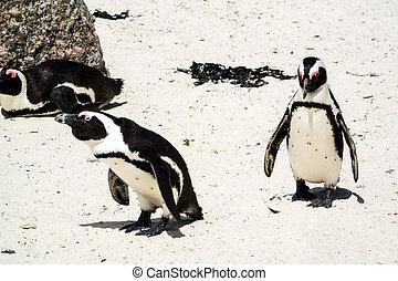 African penguin (Spheniscus demersus)