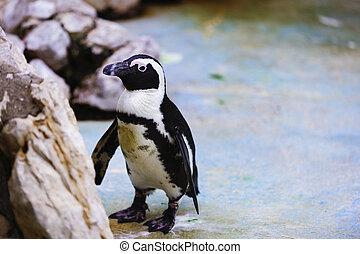 African Penguin, Spheniscus demersus, captive