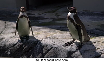 African penguin - Spheniscus demersus or black footed penguin on rock background. Cute marine wild bird at the zoo, waterbird isolated on rocky background