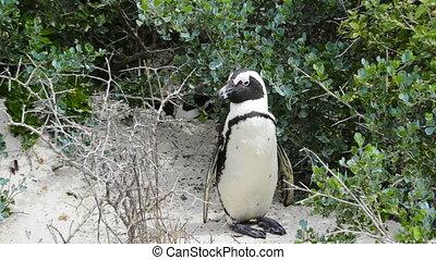 African Penguin Wild