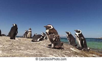 African penguins on coastal rocks - Group of African...