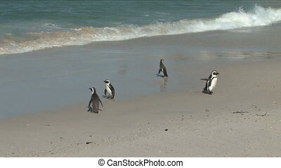 African Penguins or Jackass Penguin