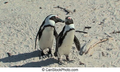 African Penguins on Cape of Good Hope in South Africa