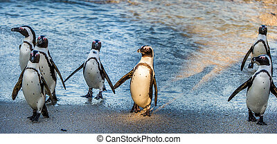 African penguins ( Spheniscus demersus). African penguins...