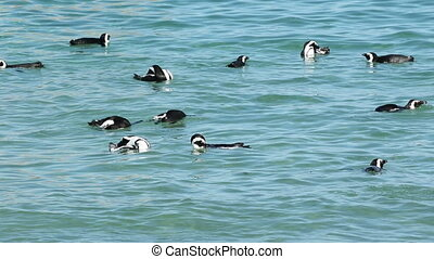 African penguins swimming - African penguins (Spheniscus...