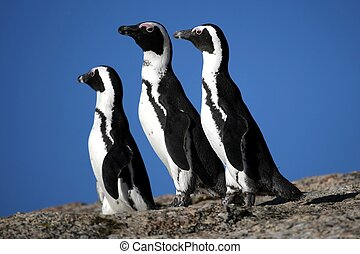 Three African or Jackass penguins in South Africa