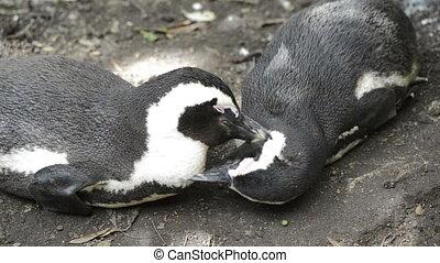 African Penguins Wild
