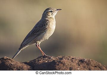 African Pipit sitting on a ground mound in the early morning sun with blurred backgrounf