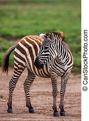 African plains zebra on the dry brown savannah grasslands browsing and grazing