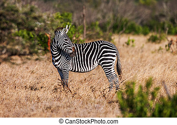 African plains zebra on the dry brown savannah grasslands browsing and grazing.
