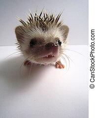 African Pygmy Hedgehog - An african pygmy hedgehog, normal ...