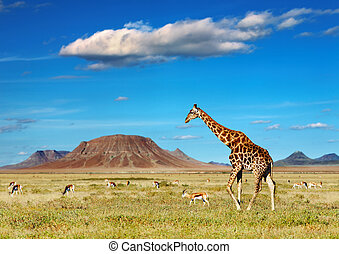 African safari - African savanna with giraffe and grazing ...