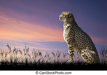 African safari concept image of cheetah looking out over...