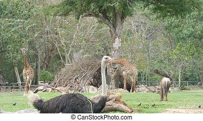 African savanna animals graze in the glade . Giraffes, buffaloes, ostriches