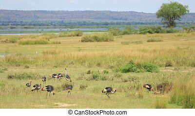 African savanna landscape with a flock of crowned cranes