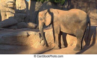 African savannah elephant. Species: Loxodonta africana, family: elephantidae, order: proboscidea, class: Mammalia.