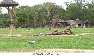 African Savannah in the Khao Kheow Open Zoo. Thailand....