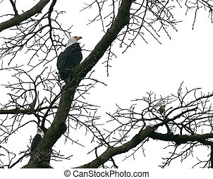 african sea eagle in a treetop