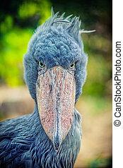 african Shoebill (Balaeniceps rex) - African Shoebill (...