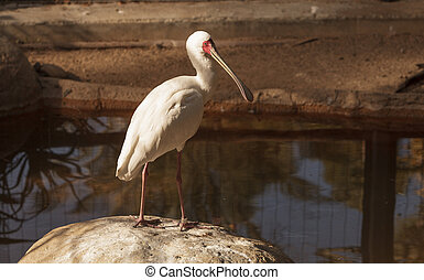 African spoonbill, Platalea alba, is a white bird with a red face found in Africa in rivers and streams.