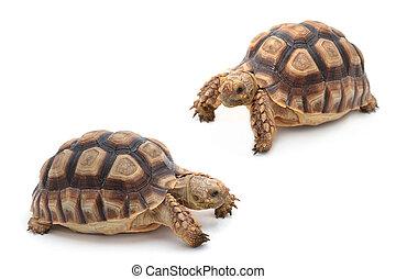 African spurred sulcata Tortoise, Geochelone sulcata, on...