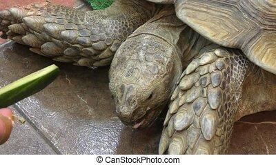African spurred tortoise (LVL. Geochelone sulcata) - African...