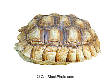 african spurred tortoise or geochelone sulcata shell...