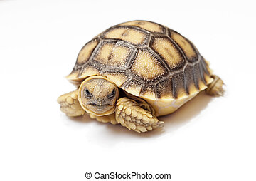 african spurred tortoise or geochelone sulcata on white...