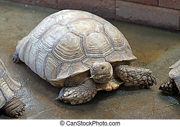 african spurred tortoise or geochelone sulcata - closeup of...
