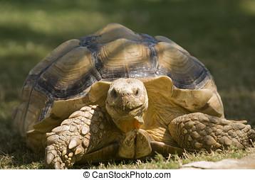 African Spurred Tortoise (Geochelone sulcata) - landscape...
