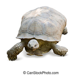 african spurred tortoise - Aged african spurred tortoise....