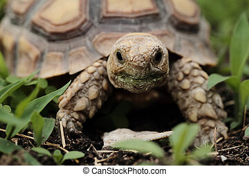 African Spurred Tortoise (Sulcata) - African Spurred ...
