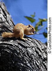 African Tree Squirrel - Okavango Delta - Botswana
